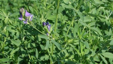 Photo of TOP SECRETS BENEFITS OF Alfalfa LEAF