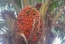 Photo of CHARM NEUTRALIZER: AKWU OJUKWU (RED PALM FRUITS)