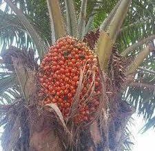 Photo of CHARM NEUTRALIZER: AKWU OJUKWU (RED PALM FRUITS)