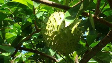 Photo of HEALTH BENEFITS OF SOURSOP LEAVES