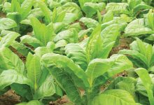 Photo of 8 WONDERS OF TOBACCO PLANT