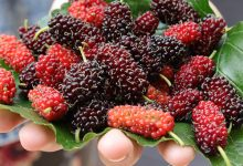 Photo of BENEFITS OF MULBERRY ON HEALTH, SKIN AND HAIR