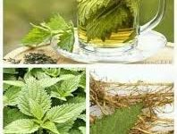 Photo of STUBBORN GRASS: CURE FOR RHEUMATISM AND ARTHRITIS
