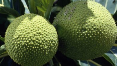 Photo of NUTRITIONAL BENEFITS OF AFRICAN BREADFRUIT