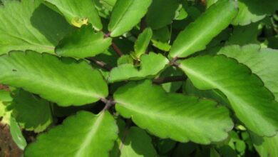 Photo of USEFULNESS OF MIRACLE LEAF