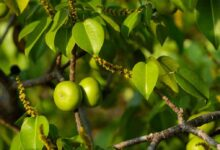 Photo of MANCHINEEL TREE: ONE OF WORLDS MOST POISONOUS TREE