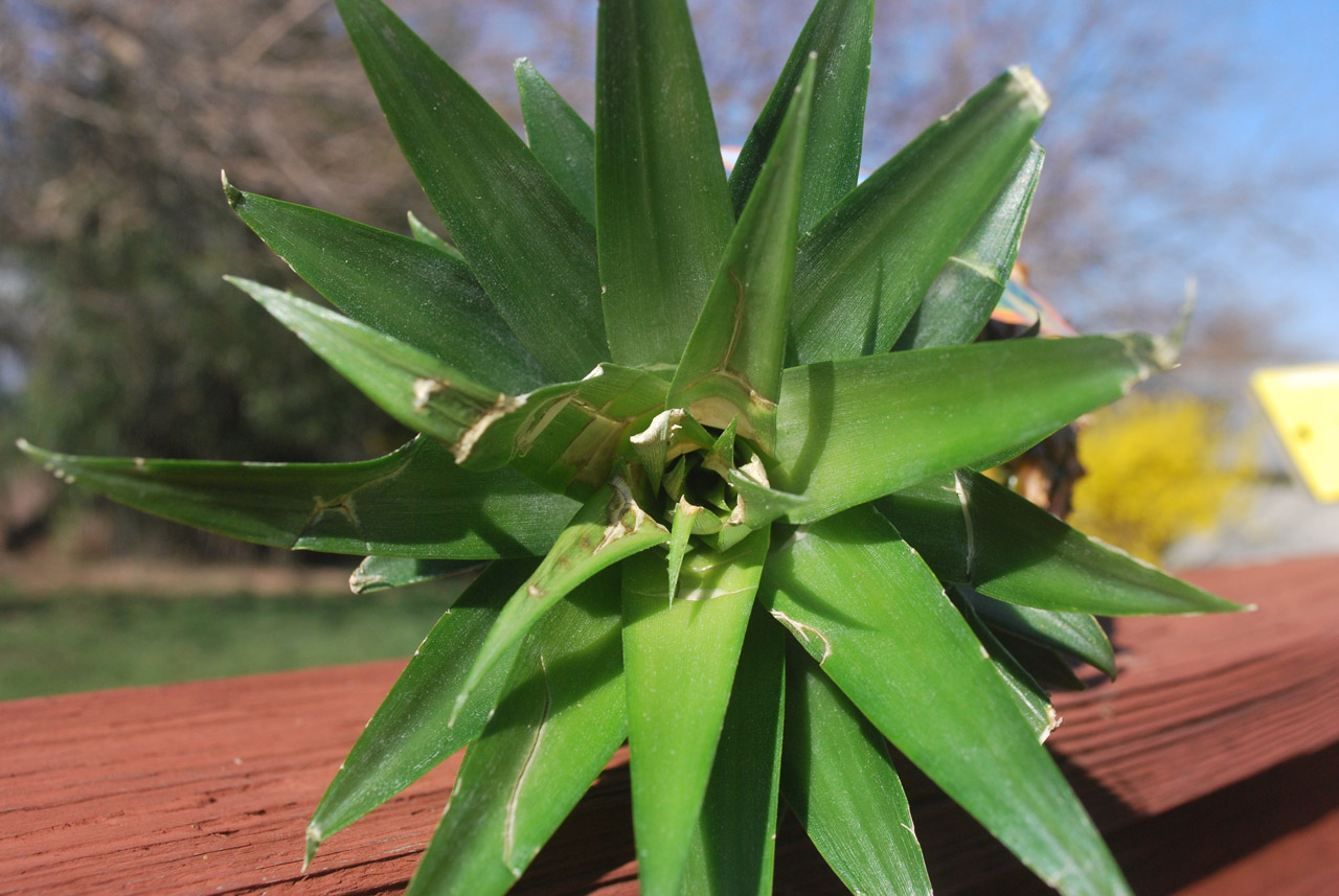 Photo of PINEAPPLE LEAF: WAIST PAIN REMEDY WITHOUT PAIN KILLERS