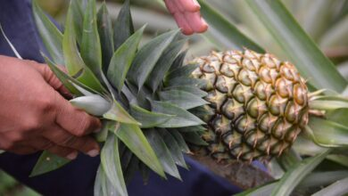 Photo of THE HEALING POWERS OF PINEAPPLE LEAVES