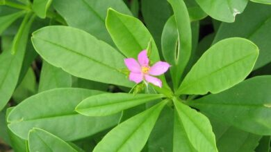 Photo of NUTRITIONAL HEALTH BENEFITS OF WATERLEAF