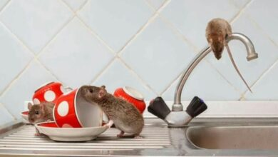 Photo of GET RID OF RATS AND MICE NATURALLY