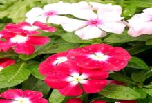 Photo of USES AND SIDE EFFECTS OF PERIWINKLE FLOWERS