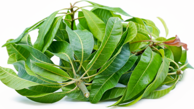 Photo of NUTRITIONAL VALUE OF MANGO LEAVES PEOPLE NEGLECT
