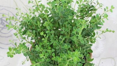 Photo of OREGANO HERBS FOR TREATMENT OF ASTHMA, DIABITIES, DEPERESSION AND MENSTURAL CRAMPS